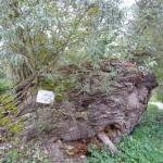 150 letna vrba pri Babičevem mlinu