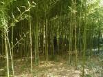 Nasad bambusa v arboretumu Trsteno