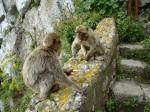 Prerekanje gibraltarskih opic