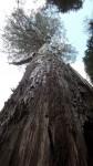Velikansko drevo